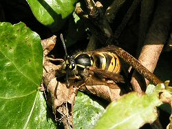 Queen common wasp