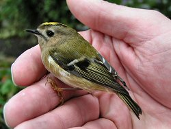 Goldcrest window strike