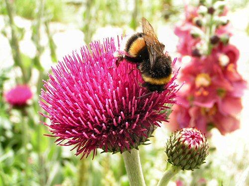 Wildlife Trusts LUSH Garden: Thistle and Bumblebee