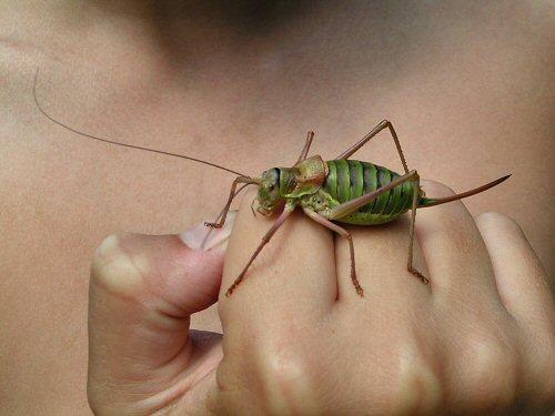 Saddle-backed bush-cricket