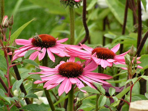 Coneflowers from Simply William Morris