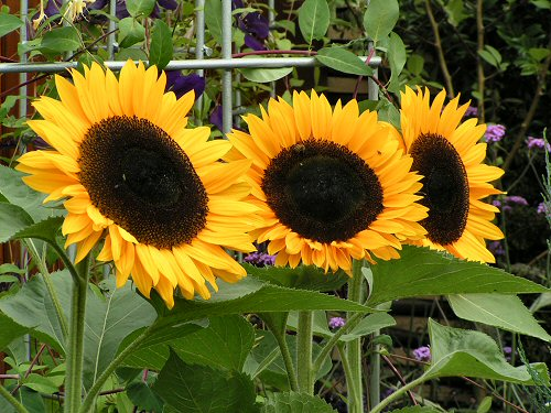 Sunflowers from Tomorrow's Garden for Wildlife