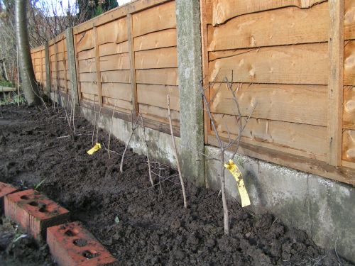 Newly planted hedge after pruning