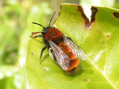 Female lawn bee