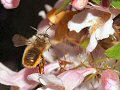 Honey bee at Weigela