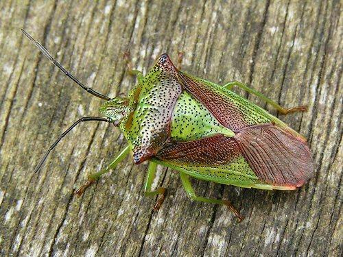 Adult hawthorn shieldbug