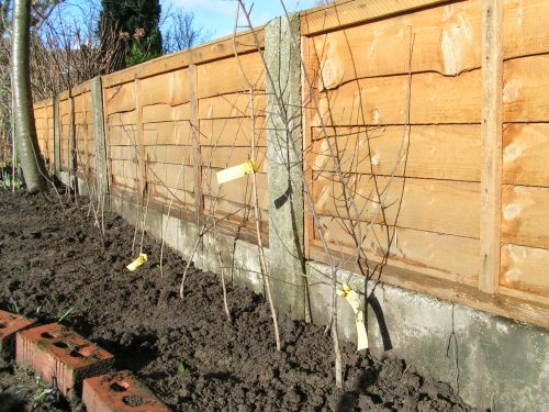 Newly planted hedge